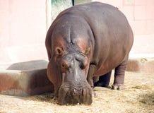 Caçador furtivo animal do jardim zoológico de África do porco do mamífero hoofed do hipopótamo grande imagem de stock