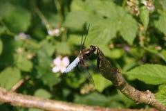 caçador Largo-corpóreo (depressa de Libellula) Fotografia de Stock