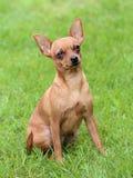 Caçador típico do rato de Praga no jardim Imagens de Stock Royalty Free