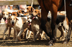 Caçando hounds Imagem de Stock Royalty Free