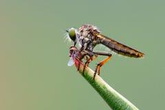Caçando a mosca fotografia de stock