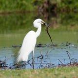 Caçando o Egret pequeno Fotografia de Stock Royalty Free