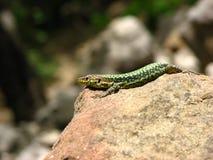 Caçando o lagarto verde Fotos de Stock Royalty Free