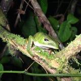 Caças da rã de árvore da floresta úmida das Amazonas na noite Fotos de Stock Royalty Free