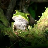Caças da rã de árvore da floresta úmida das Amazonas na noite Foto de Stock Royalty Free