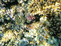 Caças do Moray na água do mar entre recifes de corais imagem de stock