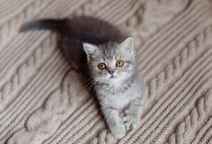 Caças pequenas do gatinho de Grâ Bretanha Imagens de Stock Royalty Free