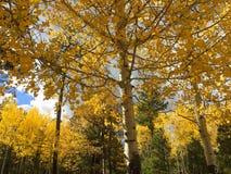 Caída Aspen Trees Imagen de archivo