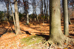 Caída Autumn Forest Background Imagenes de archivo