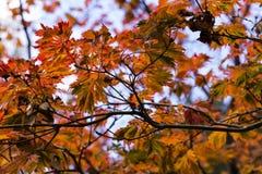 Caída Autumn Japanese Maple Branches, hojas Amarillo rojo, anaranjado Fotos de archivo