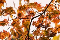 Caída Autumn Japanese Maple Branches, hojas Amarillo rojo, anaranjado Imagen de archivo libre de regalías