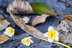 Caída de la flor blanca del Plumeria en las hojas secadas Imagenes de archivo