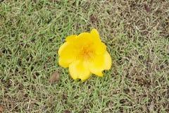 Caída de la flor del regium de Cochlospermum del árbol en el césped foto de archivo libre de regalías