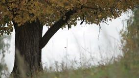 Caída de la hoja del otoño del árbol metrajes