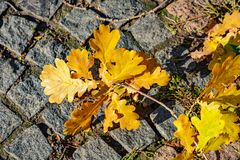 Caída de la hoja del otoño: el roble amarillo caido se va en los adoquines de un granito Foto de archivo