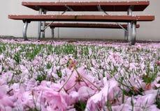 Caída de las flores de la cereza Foto de archivo
