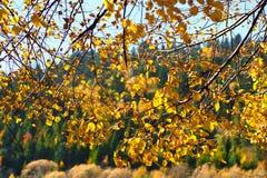 Caída de las hojas del amarillo Fotografía de archivo