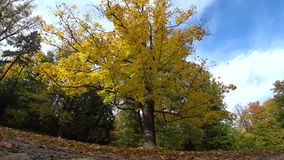 Caída de las hojas del amarillo del cielo almacen de metraje de vídeo
