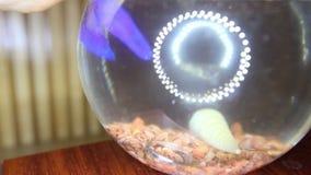 Caída de los anillos de bodas en acuario transparente con macro de los pescados