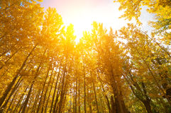 Caída de oro Aspen Trees foto de archivo