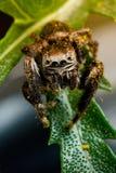 Caída de salto de la araña en el polen amarillo foto de archivo libre de regalías