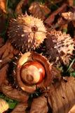 Caída del otoño de la castaña Foto de archivo