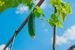 Caída del pepino en rama en jardín Foto de archivo