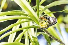 Caída femenina de la mariposa de los euanthes del cyane de Cethosia del lacewing del leopardo Imagen de archivo libre de regalías