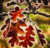 Caída Frost en las hojas de otoño imagenes de archivo