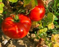 Caída orgánica fresca del tomate en una rama Foto de archivo