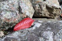 Caída roja de la hoja en la roca Imágenes de archivo libres de regalías