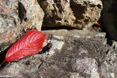 Caída roja de la hoja en la roca Fotografía de archivo