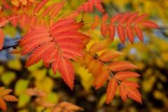 Caída roja Leavese con el fondo borroso imágenes de archivo libres de regalías