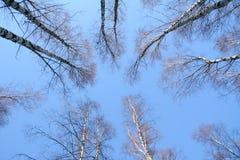 Caída. Rusia. Abedules en el cielo Foto de archivo