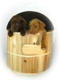 Caída triste de los perros fuera del barril de madera Fotografía de archivo libre de regalías