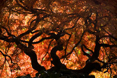 Caída Van Dusen Garden Vancouver del arce japonés Imagenes de archivo