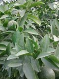 Caída verde de las naranjas en árbol anaranjado Foto de archivo