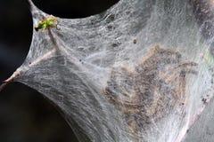 Caída Webworms - cunea de Hyphantria Imagen de archivo libre de regalías