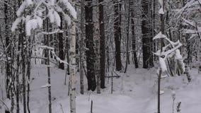 Caídas de la nieve lentamente y reservado en bosque nevoso almacen de metraje de vídeo