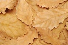 Caído de los árboles en roble del otoño se va Foto de archivo