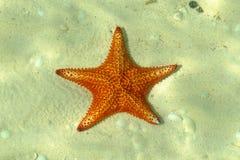 Caïman-étoiles de mer grandes images libres de droits