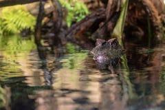 Caïman affronté lisse dans l'eau image stock