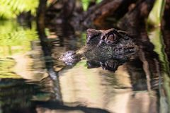 Caïman affronté lisse dans l'eau photo libre de droits
