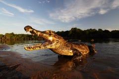 Caïman de Yacare, crocodile en soleil de soirée, Pantanal, Brésil Photographie stock