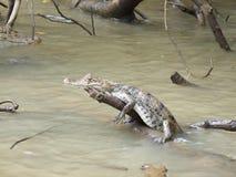 Caïman lounging sur la branche collant hors de l'eau Photographie stock libre de droits