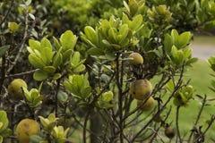 Caïmite plantent des fynbos Photos stock