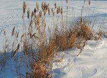 Caña común en el invierno Foto de archivo