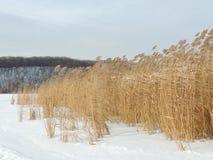 Caña común en invierno Imagenes de archivo