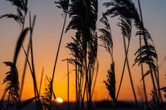 Caña común en la salida del sol Fotografía de archivo