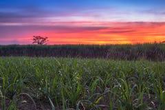 caña de azúcar con backgrou de la naturaleza de la fotografía del cielo de la puesta del sol del paisaje foto de archivo